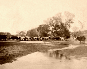Cattle at the Smoky Hill river near Ellsworth, Kansas