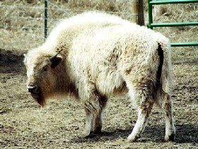 Sacred White Buffalo,