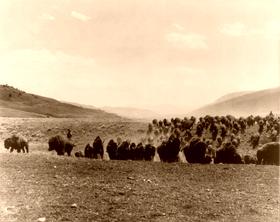 Buffalo stampede, 1917.
