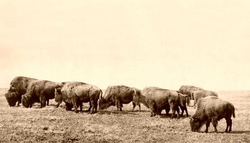 Buffalo on the Plains