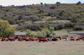 Cattle on the Dry Cimarron, New Mexico