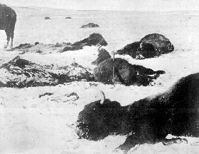 Slaughtered buffalo lying dead in the snow in 1872