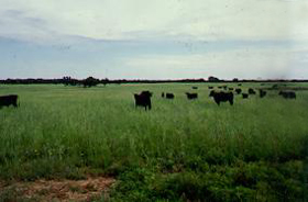 Cattle in Mason County, Texas