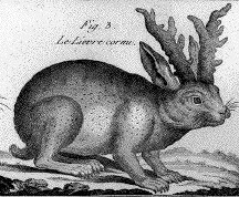 Jackalope drawing in the 1700's
