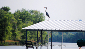 A Blue Heron sits upon the roof of a dock on the Lake of the Ozarks. Dave Alexander