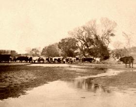 Cattle at the Smoky Hill river near Ellsworth, Kansas