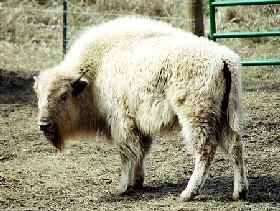Sacred White Buffalo,
