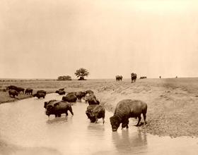 Buffalo at water, 1905