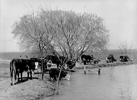 Cattle at water hole
