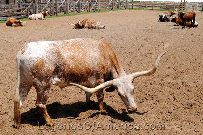 Longhorn at the Ft. Worth Texas Stockyards. Kathy Weiser-Alexander, July 2014