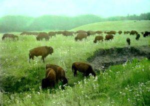 Black Hills Buffalo