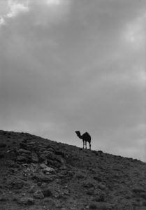 Camel in the desert, about 1900
