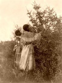 Mandan women gathering berries.,