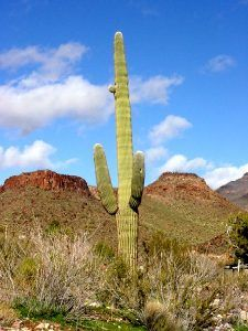 Saguaro Cactus near Oatman, Arizona