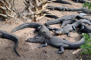 St. Augustine, Florida Alligator Farm