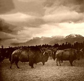 Buffalo Herd in Montana