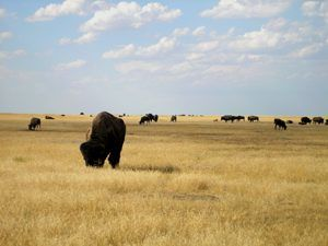 Buffalo in South Dakota, by Kathy Weiser