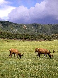 Elk grazing before the mountains