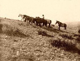 Cowboy Leading Horses