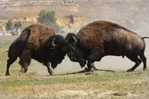 Buffalo at Roosevelt National Park, North Dakota