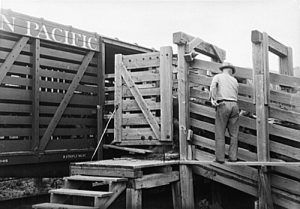 Loading cattle in North Dakota, 1936, photo by Paul Carter.