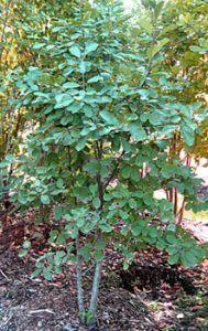 Cascara Sagrada Tree