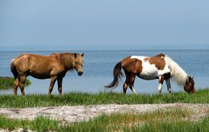Northeast Coastal and Barrier NPS Ponies Assateague Island By Robin Baranowski