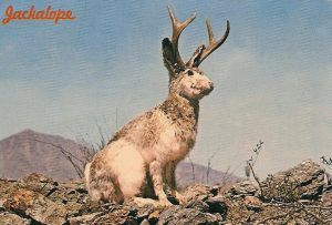Thought to be a myth by many, the jackalope is alleged to actually exists in remote areas of Wyoming.