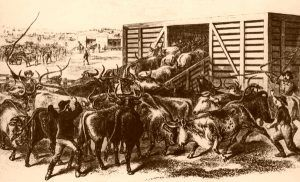 Loading Texas Cattle in Abilene, Kansas