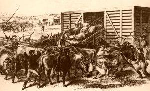 Loading Texas Cattle in Abilene, Kansas