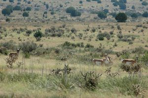 Antelope in the Oklahoma Panhandle