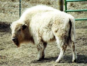 The white buffalo is considered sacred by many Native Americans, including the Sioux.