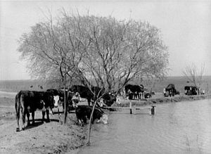 Cattle at waterhole