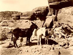 Three donkeys at the Grand Canyon in 1905.
