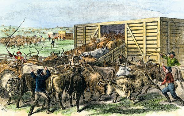 Loading cattle into a cattle car