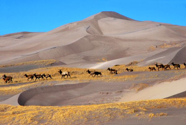 Elk at the Great Sand Dunes of Colorado