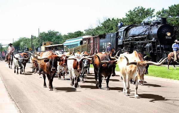 Cattle in Abilene, Kansas today