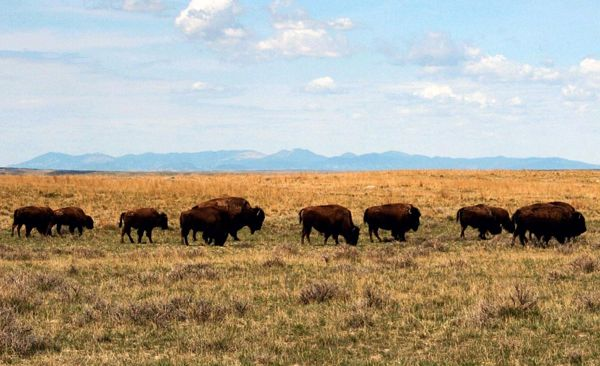 Buffalo on the Great Plains