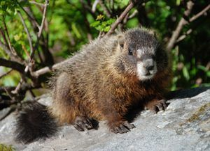 Marmot at Teton National Park, Wyoming