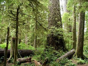 The dense area where Tornow made his home is now part of the Olympic National Forest,