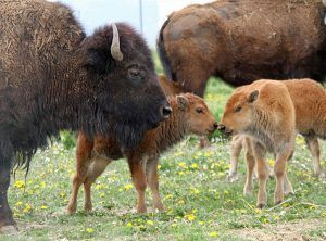 Buffalo Calves