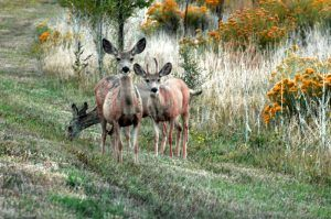 Deer in Sugarite Canyon, New Mexico.