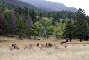 Elk at Rocky Mountain National Park by Kathy Weiser-Alexander.