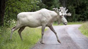 White Moose, courtesy Fox News