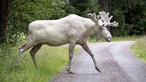 White Moose, courtesy Fox News