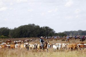 Cattle in the Florida Heartland