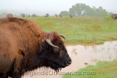 Buffalo at Pawnee Bill Ranch in Oklahoma
