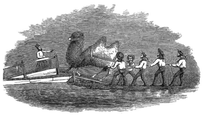 Loading a Camel onto a Boat by Gwinn Heap 1857.