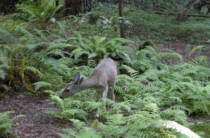 A deer in Muir Woods, California by Carol Highsmith.