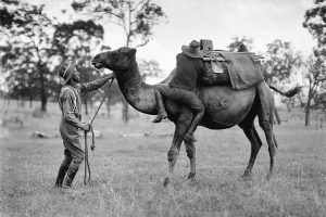 Working with a camel